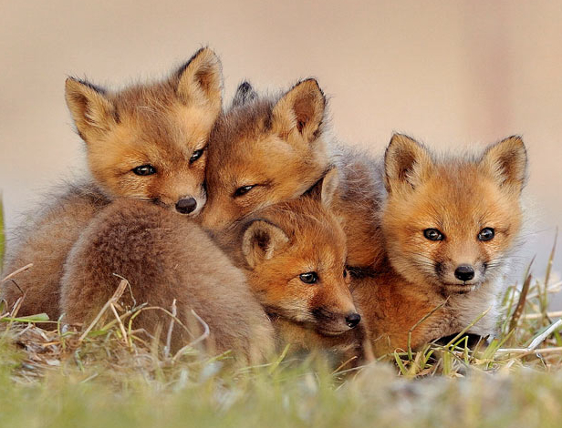 Fox cubs Cute Fox Cubs