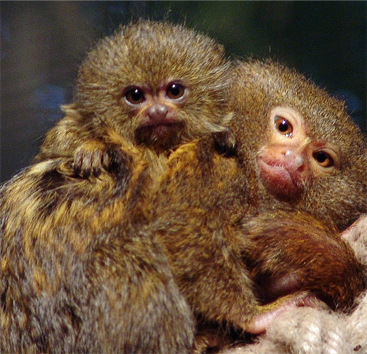 Baby Pygmy Marmosets | The Life of Animals
