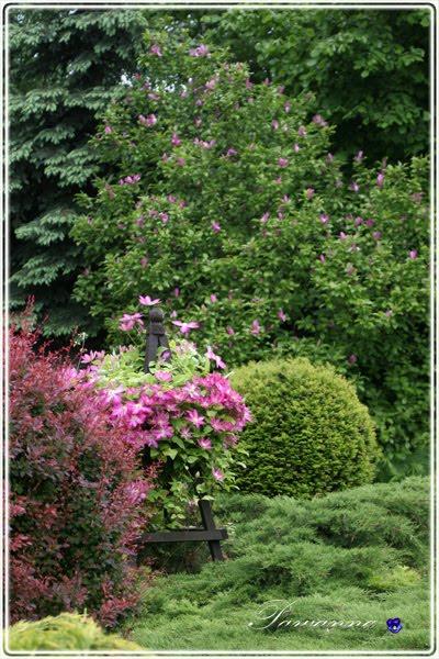 clematis i magnolia