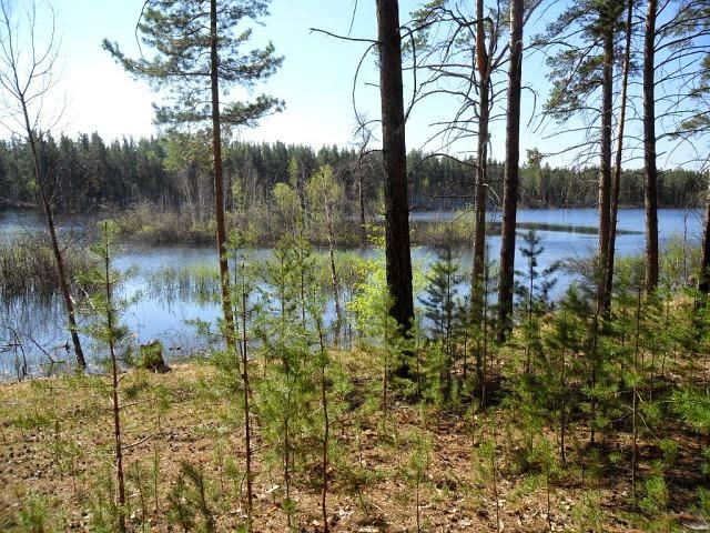 6.05.2014. Близлежащее болото Журавлиное - очень непредсказуемо! Прошлый год в это время оно было совсем пересохшее, здесь я брал торф. И внезапно поднялись грунтовые воды, и вот результат - просто появилось лесное озеро!