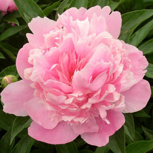 Jefferson landscaping fun facts about spring flowers peony one legend suggests the name originates from the physician of the greek gods paean and the roots are still used today in medicine mightylinksfo