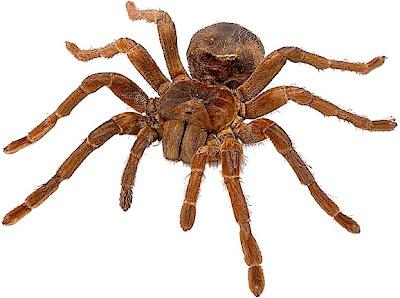ParisPointGriset: Huge Spiders for Sale on PPG