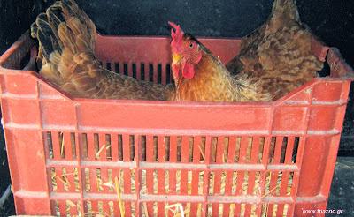 Η κλώσα και τα αυγά για κλώσημα