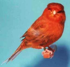 Macam-Macam Variasi Burung Kenari