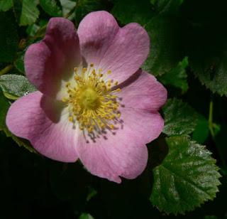 inkspired musings: Wild Prairie Rose state flower of Iowa