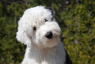 Old English Sheepdog Puppy Picture