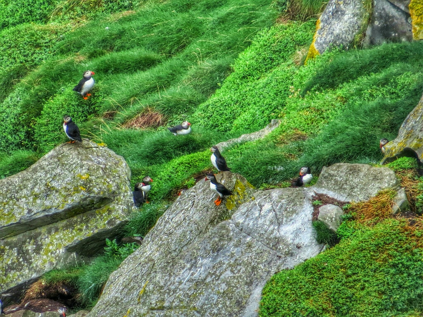 Puffins at the Cliffs of Moher