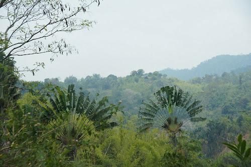 Ravenala (arbre du voyageur)
