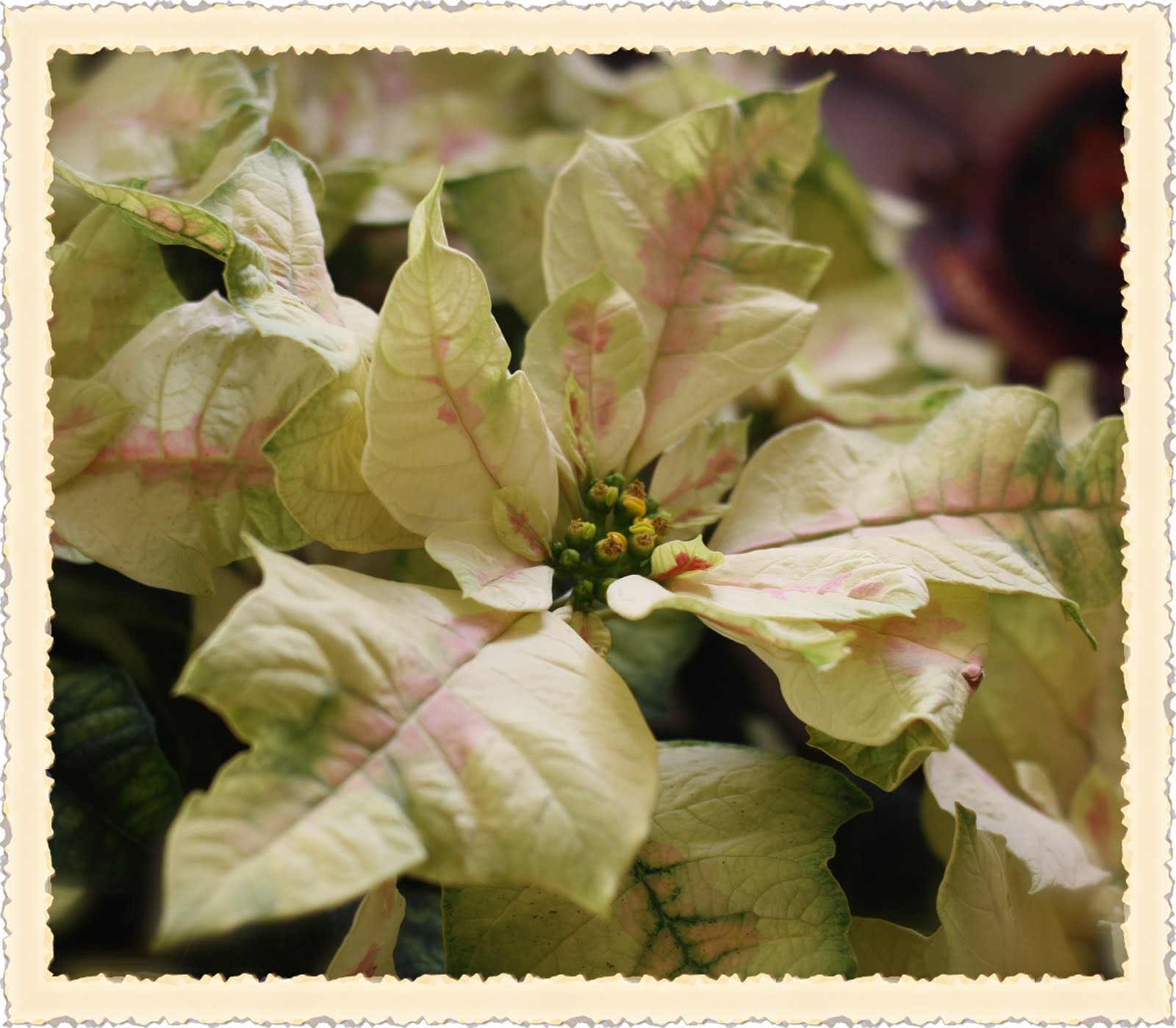 Rose Vignettes Fresh Cut Friday 16 Poinsettia December Flower of the Month