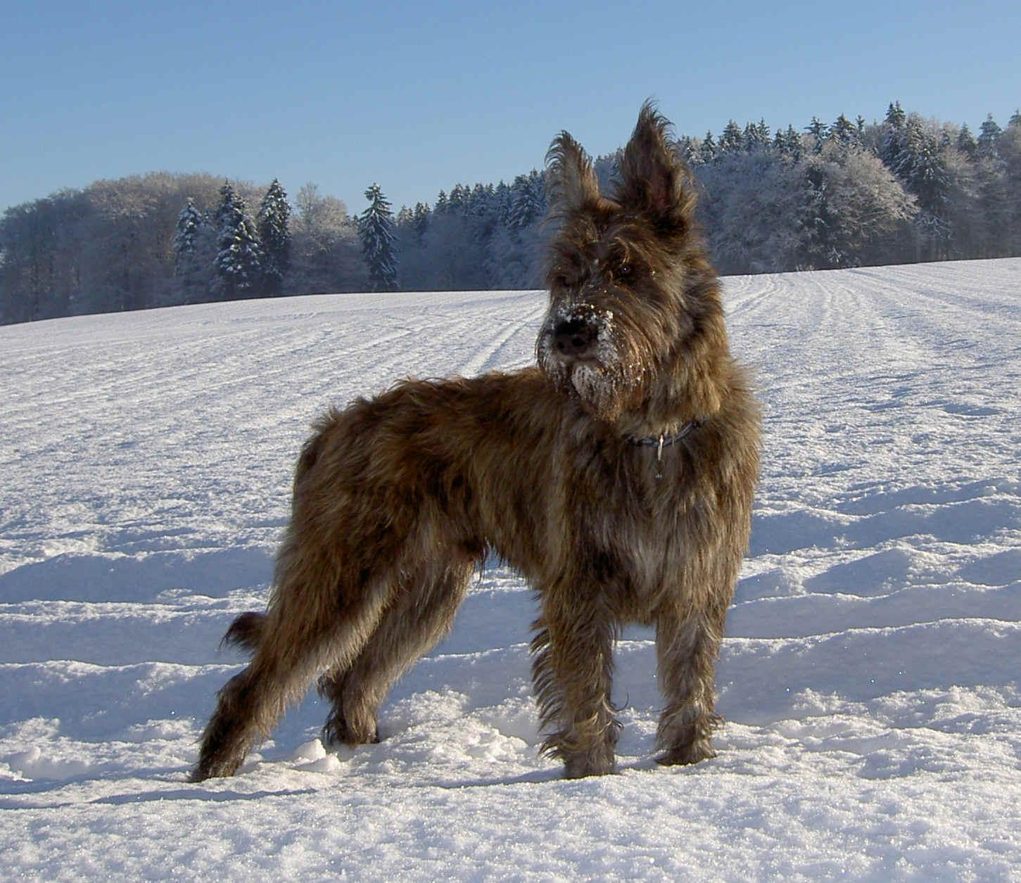 About Dog Berger Picard: How Well Is Your Berger Picard Groomed?