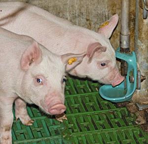 Nước uống rất quan trọng trong chăn nuôi heo.