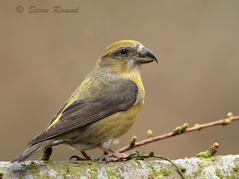common crossbill, bird, nature, wildlife