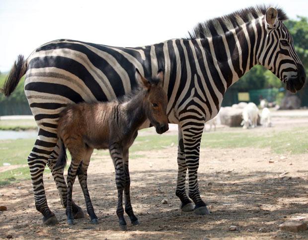 ... anunciou o nascimento de uma rara cruza entre uma zebra e um jumento