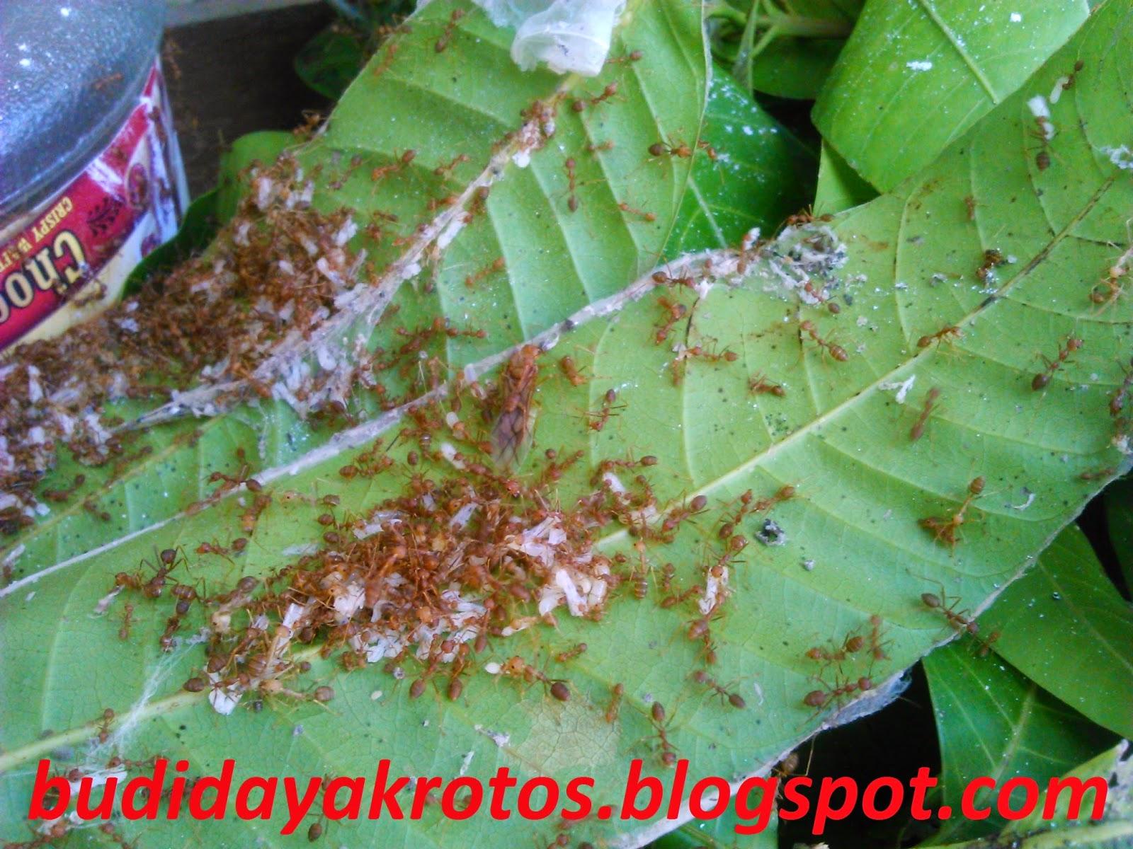 Berapa Lama Adaptasi Semut Rangrang dari Alam ke Sarang Toples?