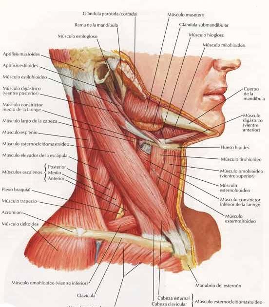 SEMIOLOGIA QUIRURGICA: Cuello