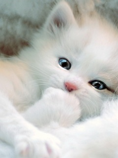 Pure White Persian Kitten pictures
