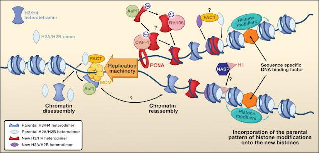 La epigenética y el resurgir del lamarckismo 1-s2.0-S009286741000005X-gr2