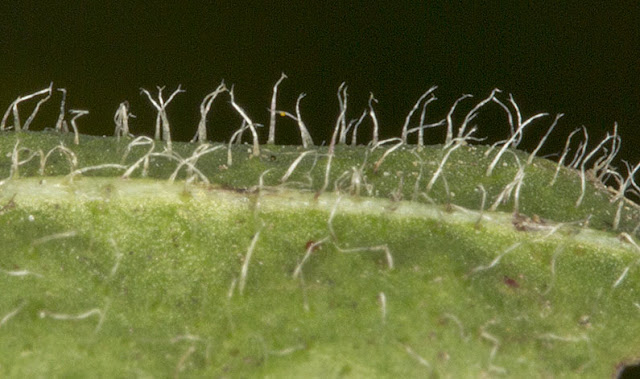 Leaf hairs of Lesser Hawkbit, Leontodon saxatilis.  Ashdown Forest, 17 August 2012.