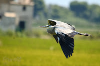 Garza real (Ardea cinerea) Grey Heron