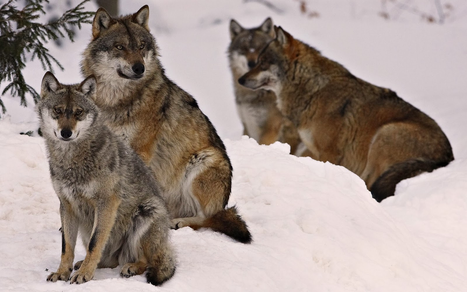Fun Grey Wolf Facts For Kids