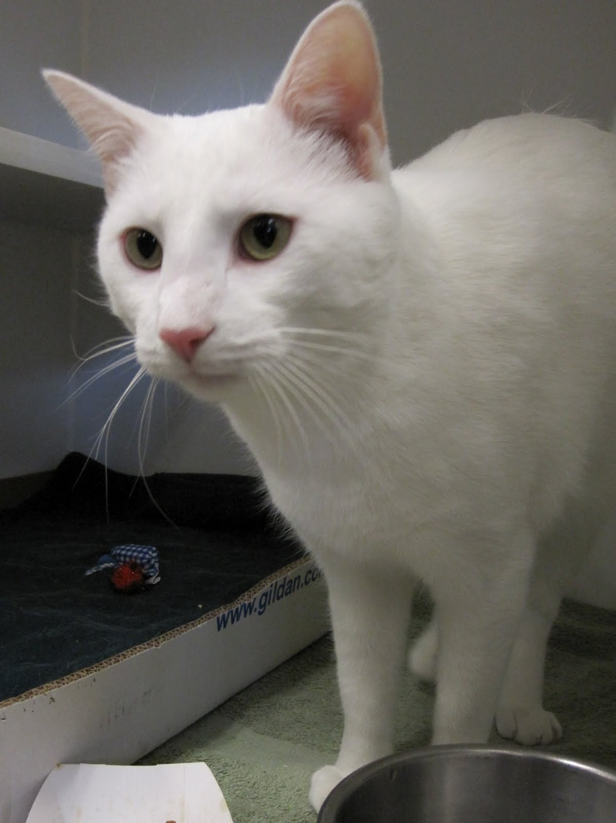 all white, adult Domestic