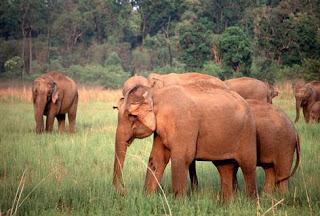wilde olifanten in India en Sri Lanka worden - in tegenstelling tot in Afrika - gedomesticeerd tot huisdieren.