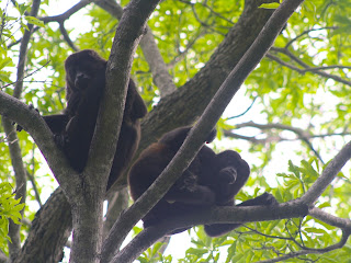 Two howler monkeys getting ready for their all day nap in Playa Amarillo.