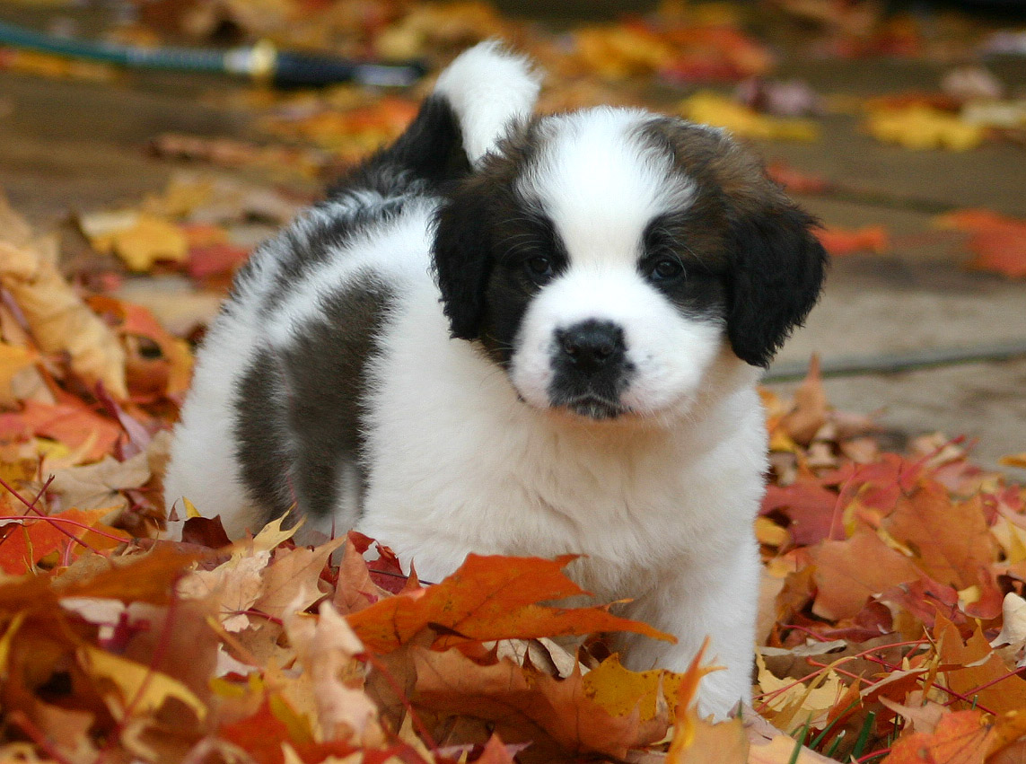 Saint Bernard Puppy wallpaper 1080p