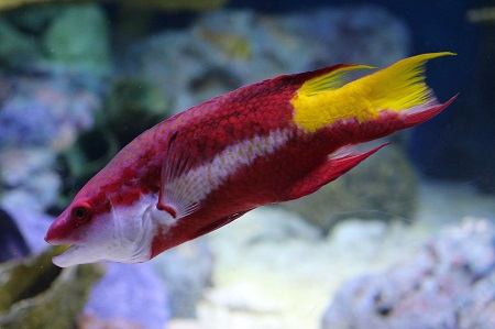 Spotfin hogfish