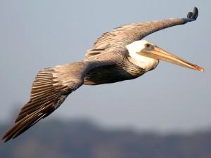 Foto del Pelícano volando