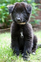 Belgian Sheepdog Puppy Picture