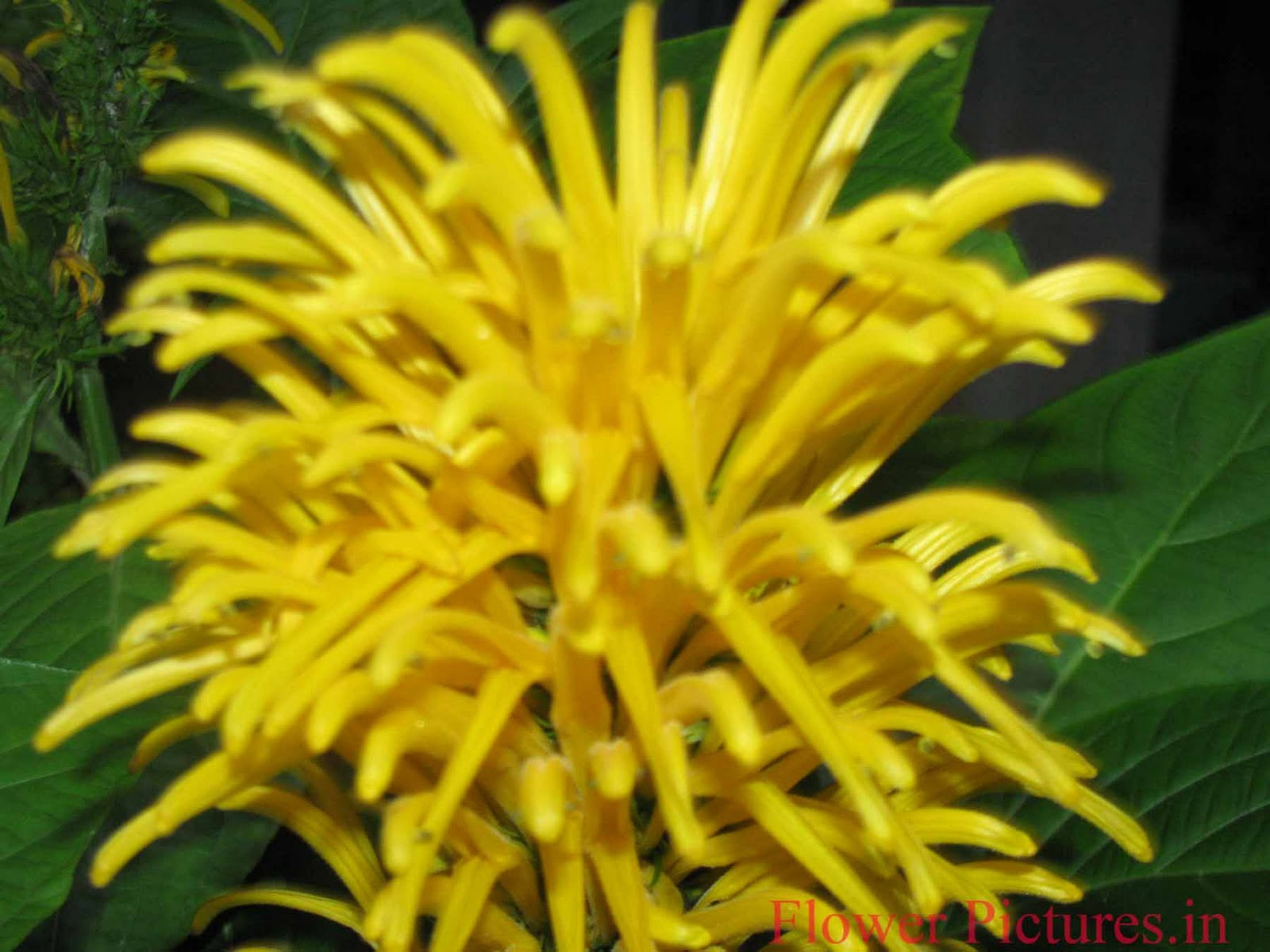 Flower pictures yellow flowers indian flowers