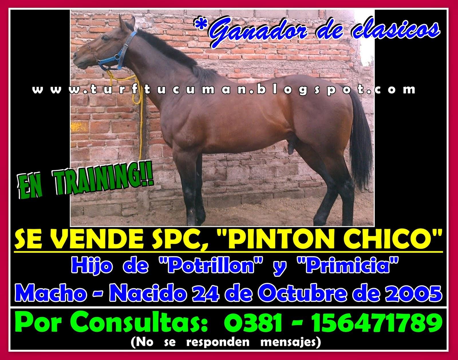 VENTA PINTON CHICO