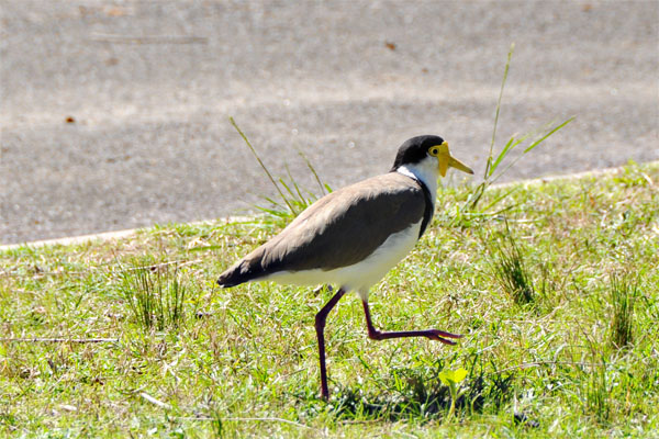 masked lapwing at bobbin head