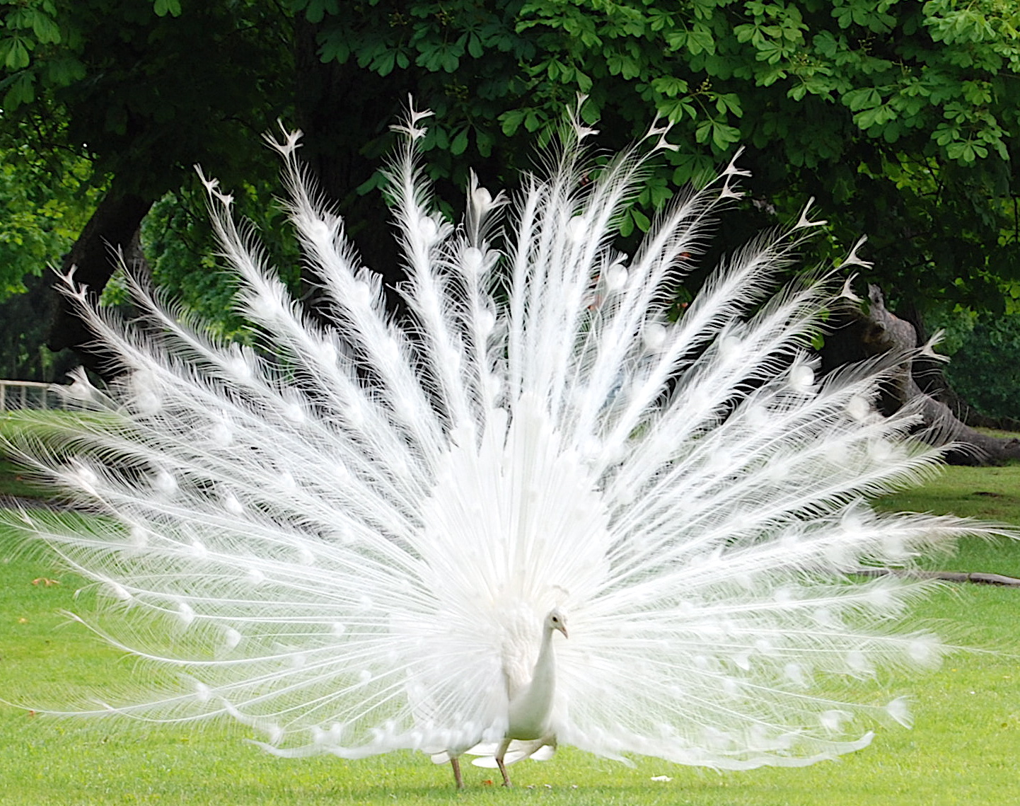 http://2.bp.blogspot.com/-dxf3-qc4ABI/TdP_a_pB7NI/AAAAAAAAAF4/K_AGjBxHAl0/s1600/peacock11.jpg