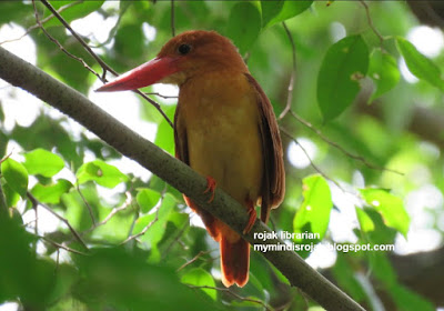 Ruddy Kingfisher in Bidadari