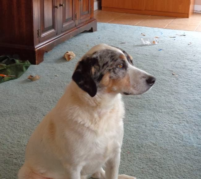Booneville NC: Blue Heeler/Beagle being surrendered! Family is moving ...