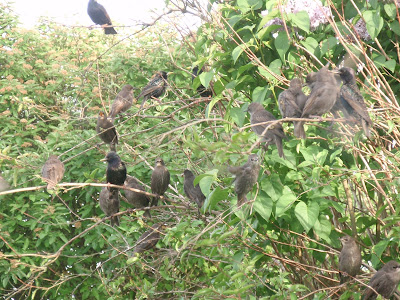 Starlings and youngsters