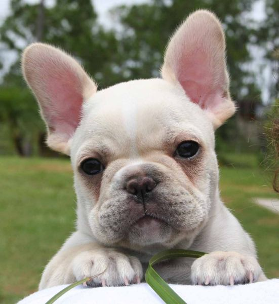 Caracter y Temperamento del Bulldog Francés, French Bulldog, Frenchie