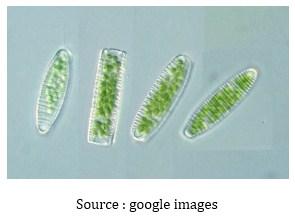 Ciri – Ciri dan Spesifikasi Bacillariophyta
