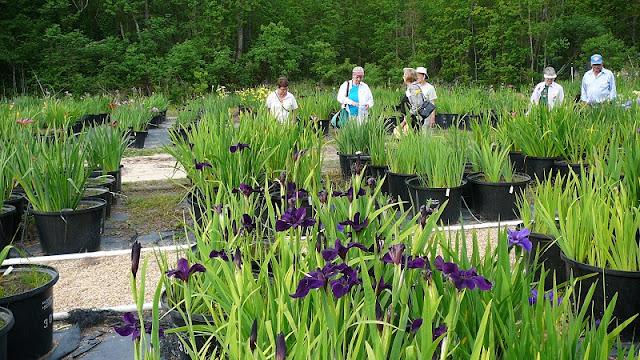 culture en pot LA+irises+in+pots+at+LA+Iris+Farms