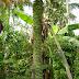Foto Gambar Pohon Buah Pisang Unik