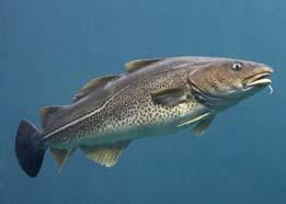 Ikan Kod Atlantik