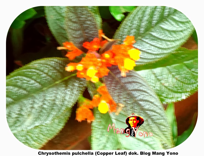 Bunga Chrysothemis pulchella (Copper Leaf) , Bunga terompet matahari tenggelam
