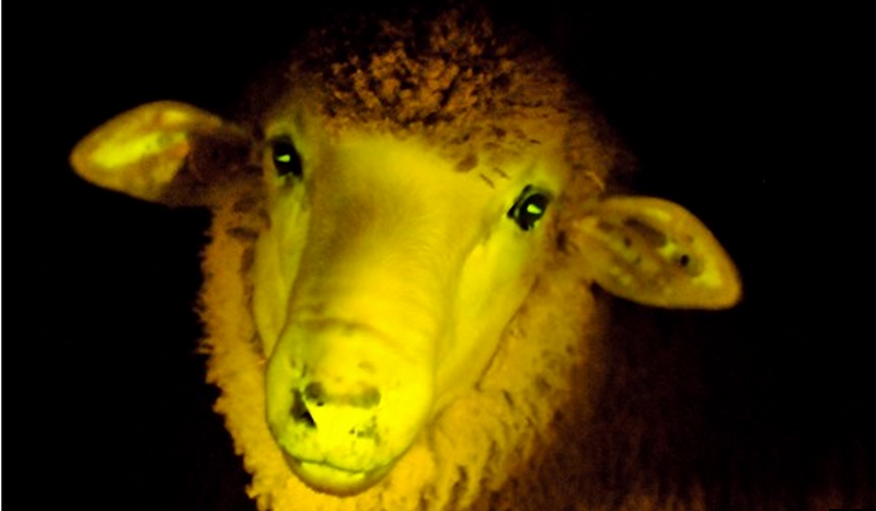 Scientists Create Glow-In-The-Dark Sheep | 33rd Square