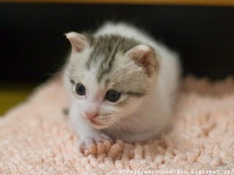 香箱座り横耳の赤ちゃん猫