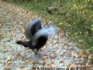 Wild Turkeys in Sharon Woods Metro Park from http://www.amamascorneroftheworld.com