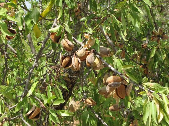 Orto per tutti piante da frutto for Piante antiche da frutto