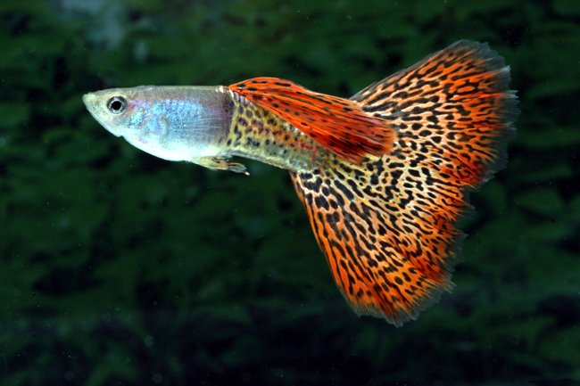 This species was initially named the millions fish, but the name guppy is ...