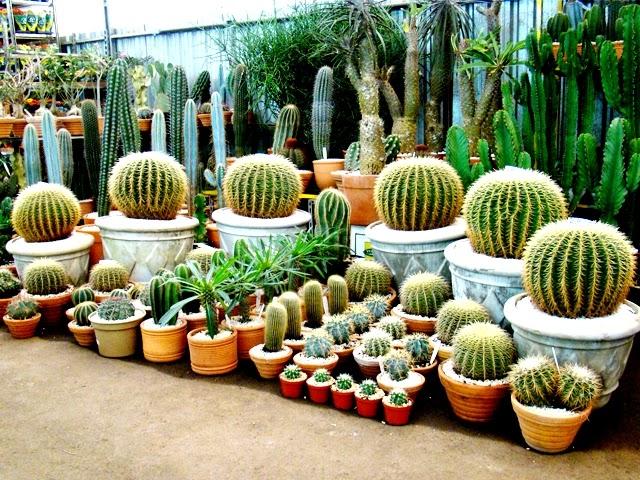 mini jardim de cactus: vemos eles na parte de cima e na parte de baixo dando um belo efeito